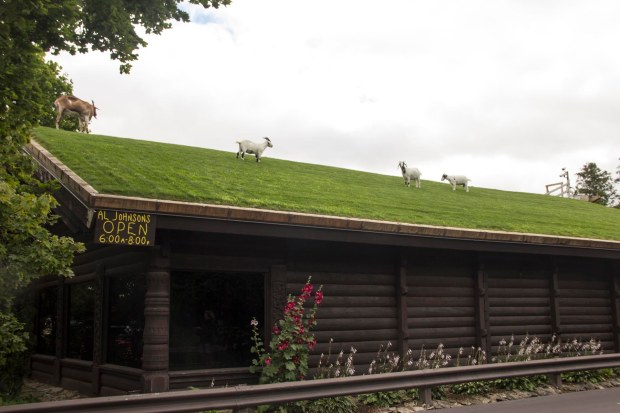 Goats grazing on a roof!
