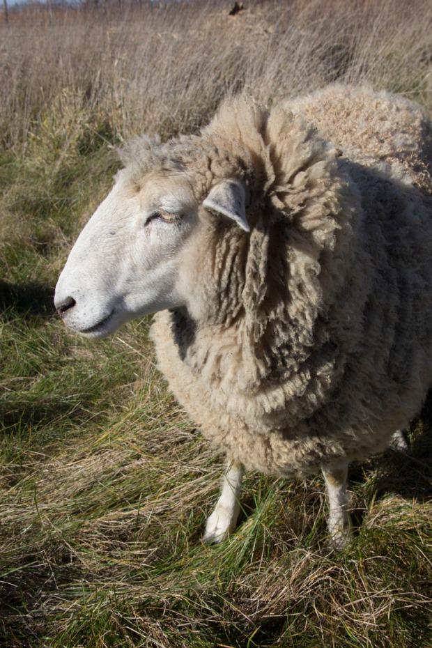 Nice to meet you, Mr. Sheep!