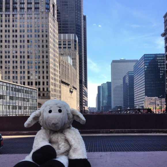 sheep in Chicago