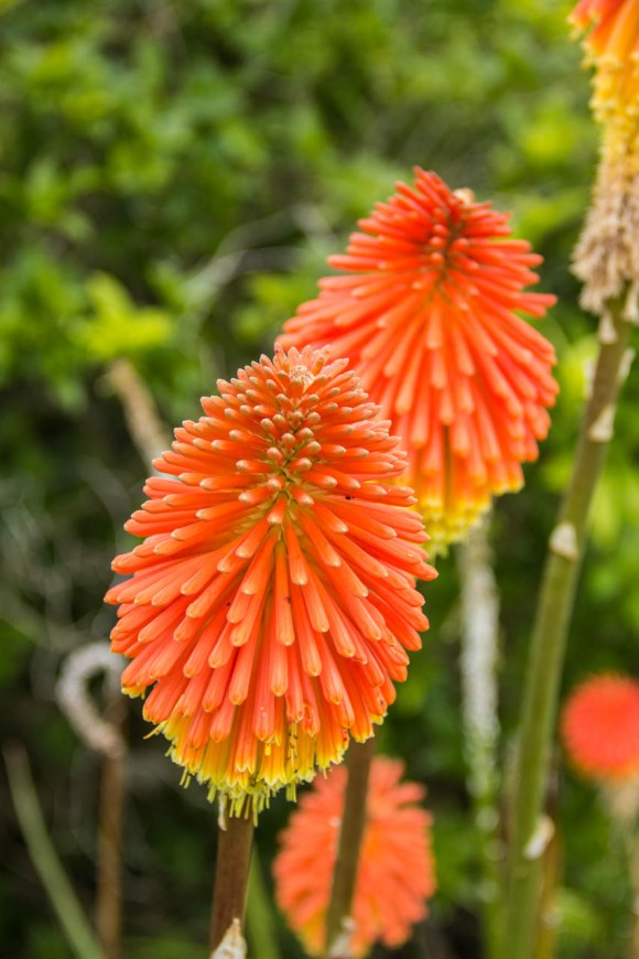 new zealand fire poker flower