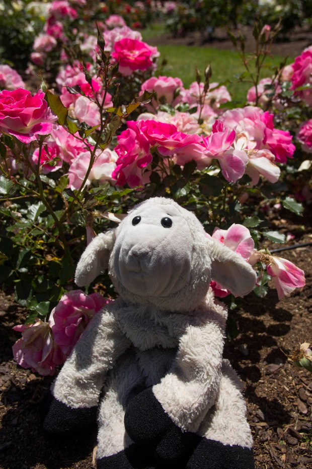 adventures of sheep at parnell rose garden