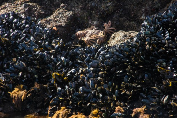 mussels and starfish at low tide