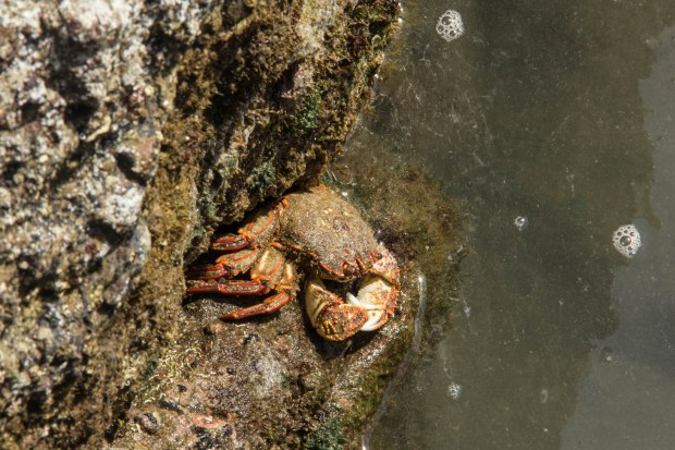 new zealand sea crab in tide pool