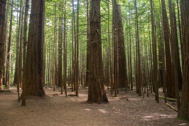 california redwoods in new zealand